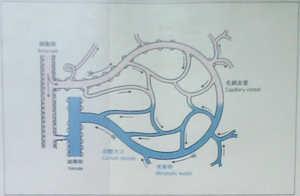 末梢血管の循環図
